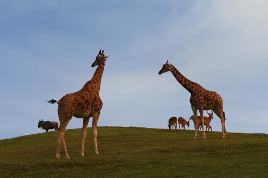 Escondido, Californi: Giraffes on the plains