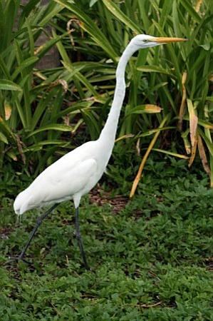 Turks dan Caicos: Herron at Hemmingways