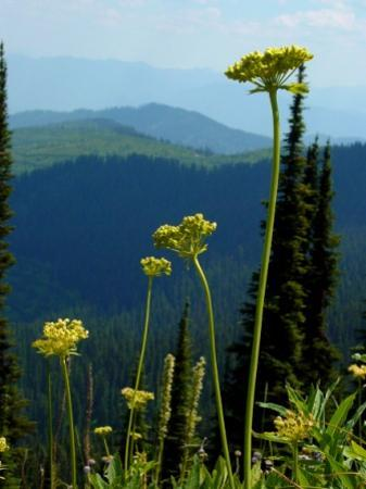 Whitefish, MT : Wildflowers