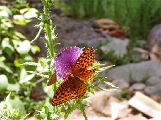 Sedona, AZ: Butterfly in West Fork (summer)