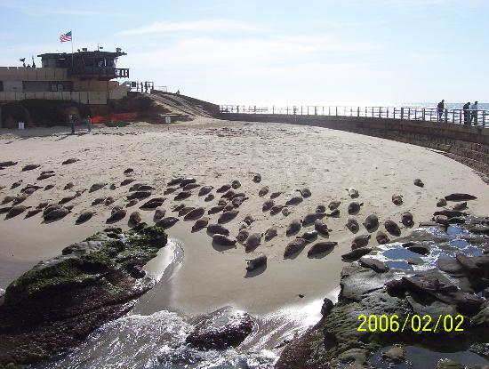 La Jolla Village Lodge: Seals at the Children's pool
