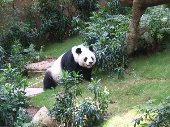 Hong Kong, China: Panda at the sanctuary