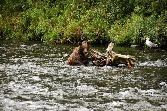 Kenai, AK : Brown Bear in the Russian River 