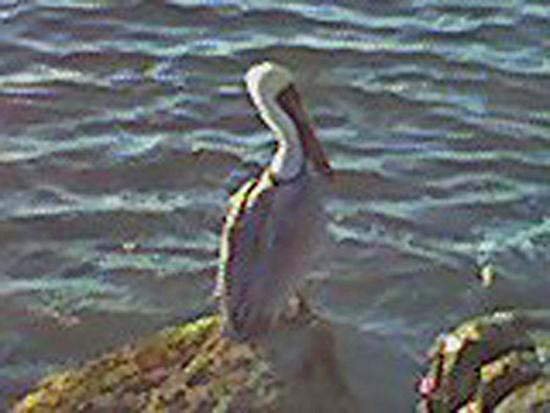 Fort Pierce, Флорида: Our friend the pelican