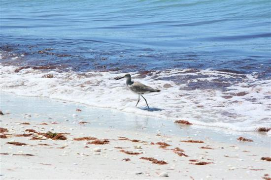 Blind Pass Condominiums: Shorebird and red algae on the beach