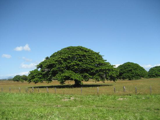 Guanacaste Tree