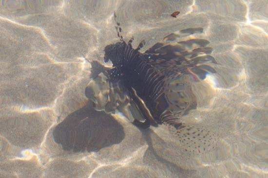 Lion fish in naama bay picture of maritim jolie ville for Piscine fish