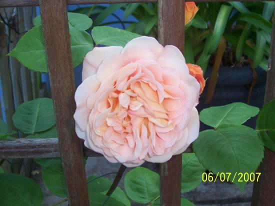 Delmar B&B: Delores's lovely roses