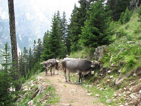 Neustift im Stubaital, Österreich: Hostile cows blockage mountain path