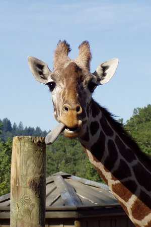 Santa Rosa, CA: giraffe