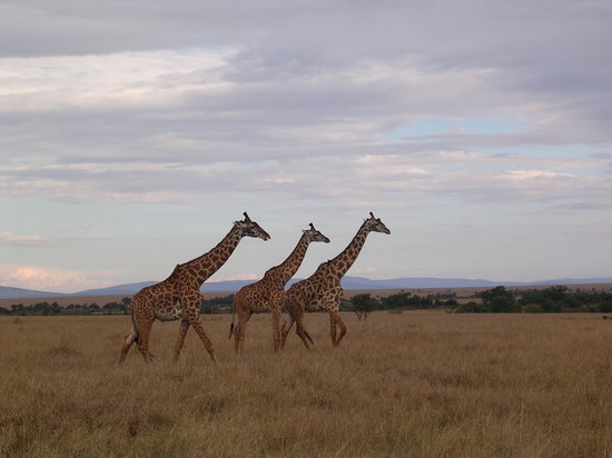 Masai Mara National Reserve, Kenia: postcard perfect!