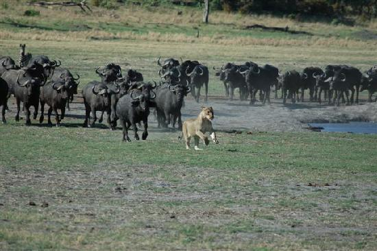 Matetsi Private Game Reserve: Buffalo chasing lioness off a kill - see article by Wizziwoo!