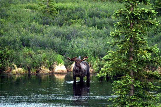 Denali National Park and Preserve, Αλάσκα: Bull Moose stare