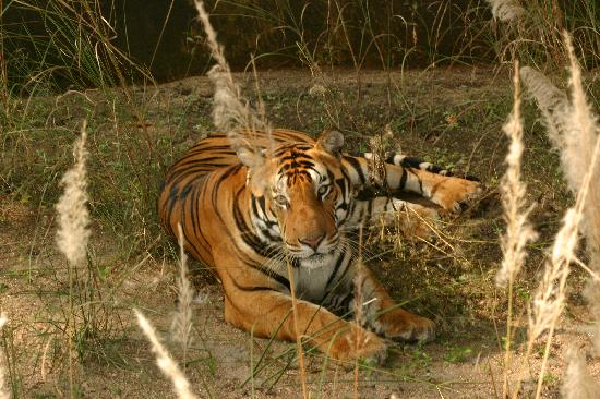 Kanha Jungle Lodge: Our first tiger at Kanha