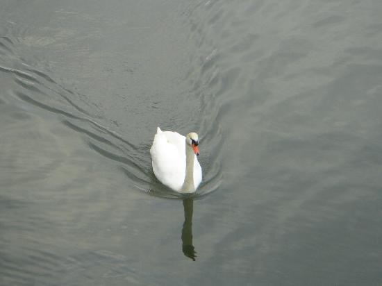 Duck Inn: A swan right infront of the inn