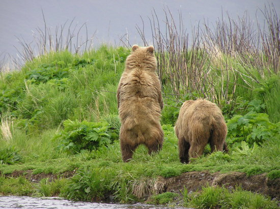 Kodiak Adası, AK: Kodiak Bears on Thumb River