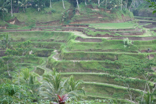 Jimbaran, Indonésie : Rice Terraces in Ubud