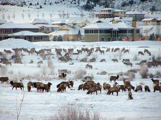 Eagle, Colorado: Elk wintering in Eagle Ranch