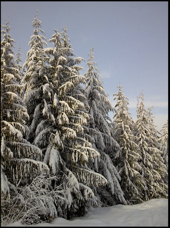 Whistler, Kanada: Tree&#39;s on the slopes