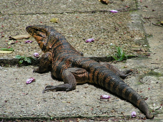 le de la Trinit : Tiger Lizard 