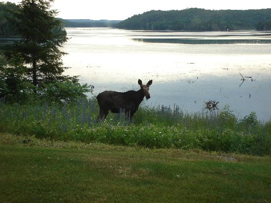 Limerick Lake Lodge &amp; Marina: View from front window-with a moose
