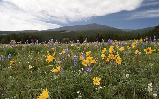 Red Lodge, : Bighorn alpine meadow