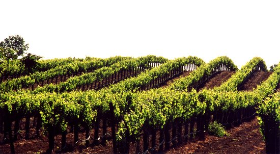 Lodi Vineyard