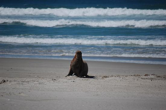 Captain Eady's Lookout: sea lion on beach within short istance from Captain Eady's