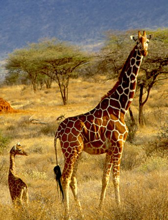 Samburu National Reserve, Kenya : Giraffe and Young