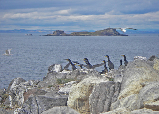 Cormorants on The Lamb, an island off North Berwick