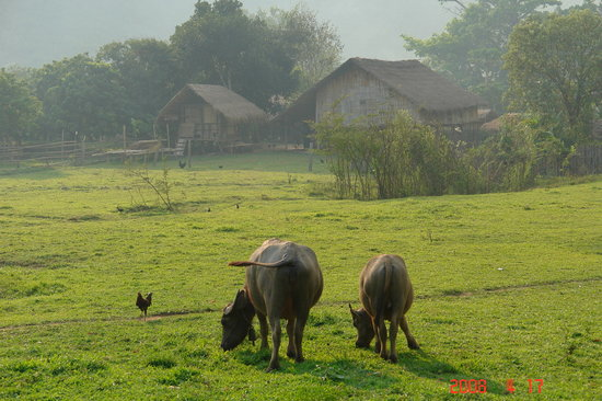 Chiang Rai, Thailand: have buffalos in front of their houses