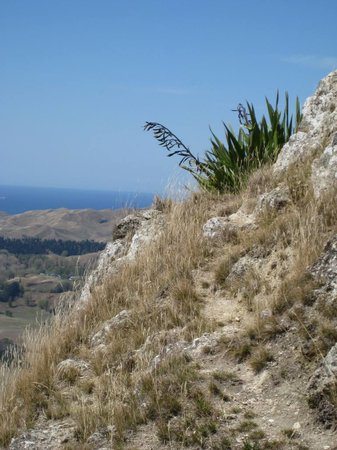 Napier, : NZ Flax, Te Mata Peak