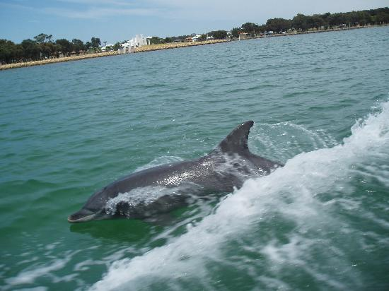 DOLPHIN IN MANDURAH INLET OPPOSITE THE WAR MEMORIAL