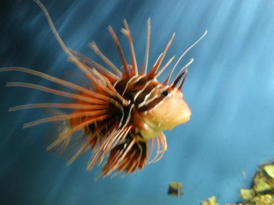 Kingston-upon-Hull, UK: Lionfish