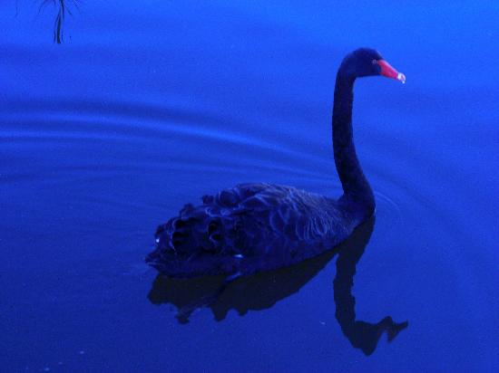 http://media-cdn.tripadvisor.com/media/photo-s/01/11/72/04/black-swan-at-tidbinbilla.jpg