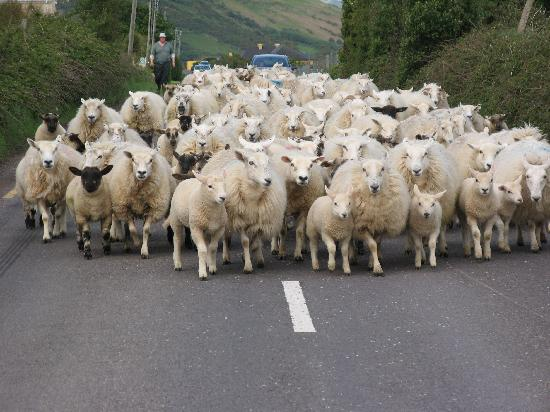 Castlemorris House: Killer sheep on the way to Dingle