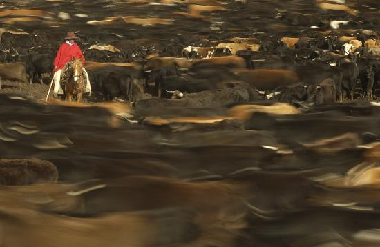 Cotopaxi Province, Ecuador: Cattle roud up in Yanahurco