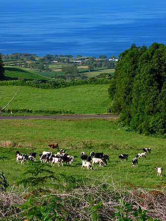 Azores, Portugal: Cows