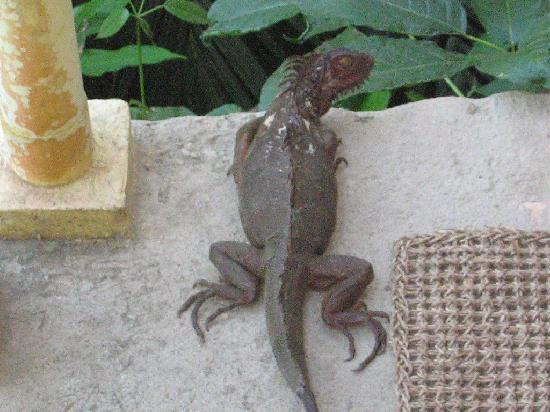 Casa del Chaman: Lizard came for breakfast