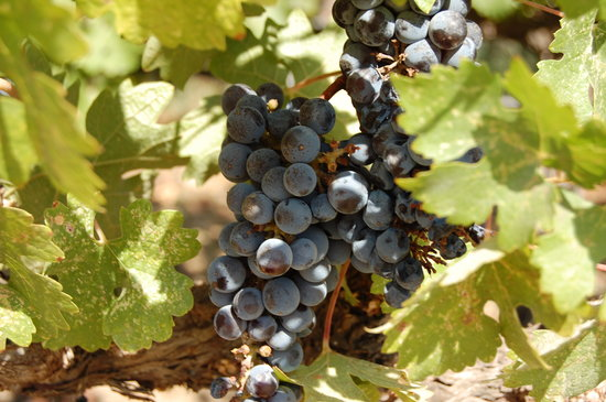Napa Valley, Californie : r.mondavi grapes 