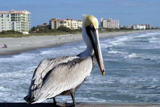  , : pelican at Cocoa Beach, FL