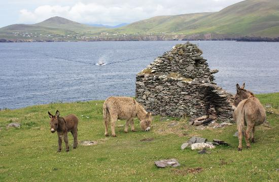 Ireland Co Kerry Dingle Peninsula Great Blasket View Picture Of Blasket Islands County