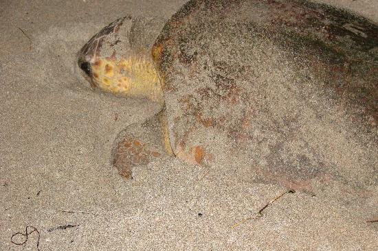 Gulfstream Manor Resort: turtle laying her eggs only a few feet from our gate to the beach
