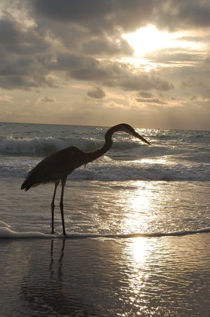 isla de Captiva, FL: bird