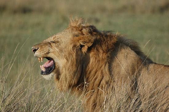 Mara Siria Camp: Lion In the Masai Mara