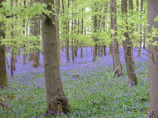 Coleford, UK: Bluebells in May