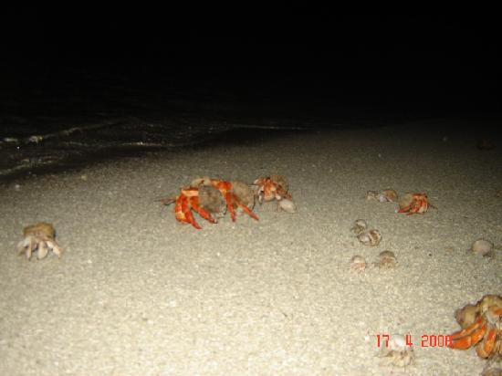 Lakshadweep, India: a troupe of hermit crabs during the midnight turtle walk