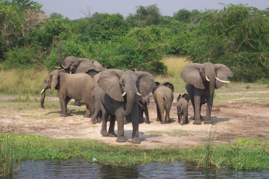 : Elephants on the nile at Murchison Falls