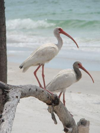 Florida: Ibis, Egmont Key