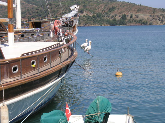 Pelicans at fethiye harbour